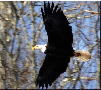 Bald eagles seen on monongahela morgantown dominion post for Flying fish morgantown wv